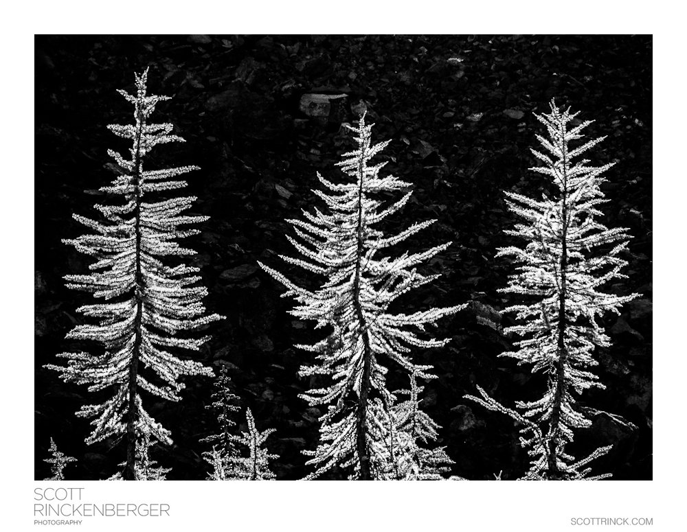 Three Larches