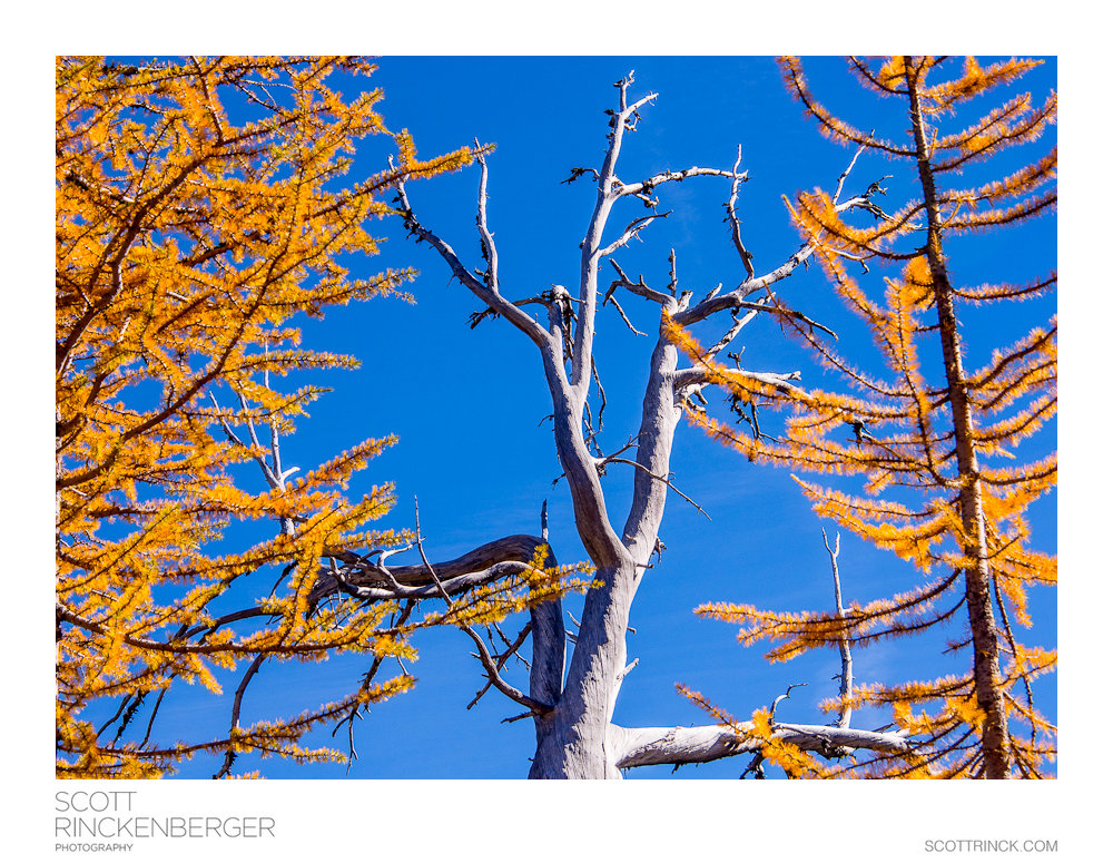 Larches and a Snag