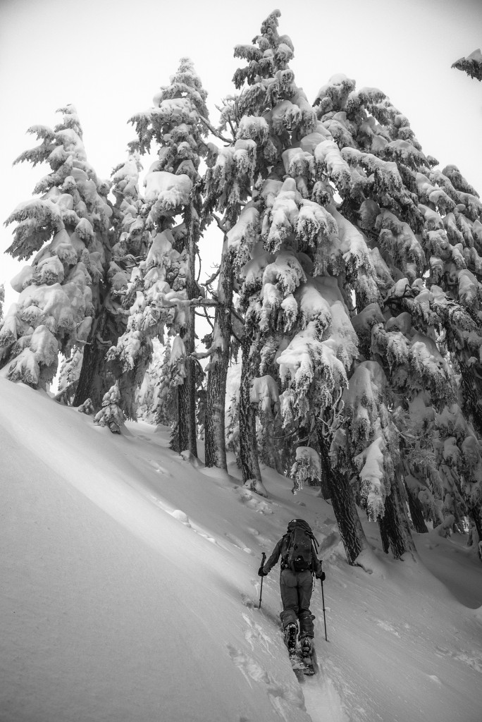 Ashley Feerer heads for a grove of old growth near the summit ridge of Kendall Peak.